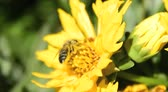 garden flowers : bee pollinating a yellow spring daisy