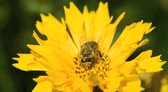 bee pollinating a yellow spring daisy