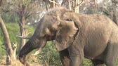 irritable : Slow motion of elephant shaking head irritably and releasing a cloud of dust