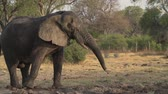 irritable : Slow motion of elephant shaking head irritably