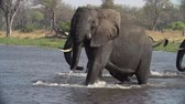 elefante : Slow motion of elephants emerging from water and displaying aggressive posture
