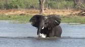 elefante : Young elephant bull splashing and playing in water in the Okavango Delta
