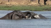 elefante : Two young elephant bulls playing in water in the Okavango Delta