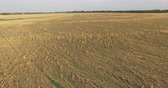 crop loss : Aerial view of corn field devestated by drought and hail Stock Footage