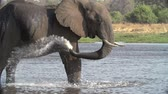 male animal : Slow motion of elephant bull standing in water and spraying water over himself Stock Footage
