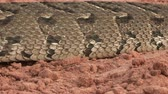 adder : Close-up of puff adder showing rectilinear locomotion moving caterpiller like over the ground