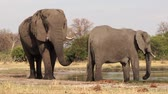 genitals : Bull elephant testing females readiness to breed by smelling genital area