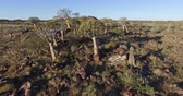 aloes : 4K aerial view of quiver treekokerboom forest in Namibia
