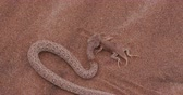 adder : 4K shot of sidewinderPeringueys adder eating a shovel snouted lizard