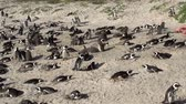 african penguin : Zoom out of African penguins with mother and child watching,Boulders Beach, Cape Town,South Africa Stock Footage
