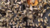 picar : Close-up of African honey bees on honeycomb