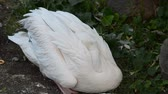 contrastes : young white pelican is ready to sleep Stock Footage