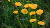 Group of yellow dandelions. Nature scene. Dostupné videozáznamy