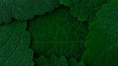 clorofila : Dark green leaves. Close up 4K