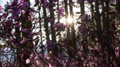 vertical growth : Beautiful sunset in forest. Rays of setting sun lighting amazing pink flowers Stock Footage