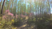 следующий : Personal perspective of walking on a path in the forest. Pink flowers, timelapse