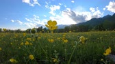 Yellow wildflowers on the meadow. Rural landscape