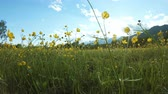 kvetoucí : Yellow wildflowers on the meadow. Rural landscape