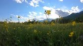floração : Yellow wildflowers on the meadow. Rural landscape