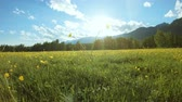 Yellow wildflowers on the meadow in sunny day. Rural landscape