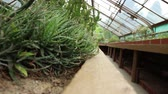 aloes : Close-up view at succulent in summertime season. Wideo