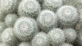kaktüs : Close-up view at grey succulent cactus in summertime season. Stok Video