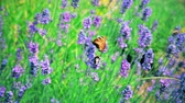 nickel : Shaggy bumblebee and butterfly collect pollen from flowers Stock Footage