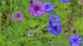 수레 국화 : Blue cornflowers and purple in the garden in summer 무비클립
