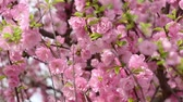 wild cherry : Flowering of fruit and wild flowers in spring HD