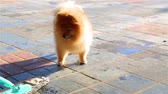 pomeranian spitz : Golden fluffy Pomeranian barks at the broom in the winter Stock Footage