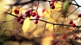 wednesday : Autumn red berries of viburnum HD 1920x1080
