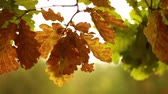 wednesday : Oak leaves in autumn in motion HD 1920x1080