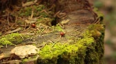 coccinelle : Ladybugs crawling on an old stump covered with green moss in the forest Vidéos Libres De Droits