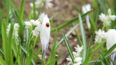 coccinelle : Spring ladybug crawling on white flower HD 1920x1080