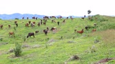 Herd of Thai domestic beef cattle grazing on green pasture 影像素材