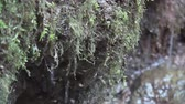 musgo : Close up of dripping water from the moss. Stock Footage