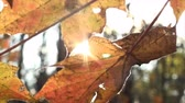 осень : Close up of leaves in autumn and sunrise in the woods. Стоковые видеозаписи