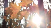 осень : Golden leaves and bright sun rays 2.