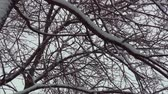 pegajoso : Tree branches after snowstorm 2.