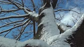 pegajoso : Tree covered in sticky snow after snowstorm.
