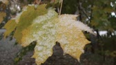 осень : Maple leaves covered in snow, beginning of winter season. Close up shot. Стоковые видеозаписи