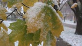 осень : Maple leaves covered in snow, beginning of winter season.