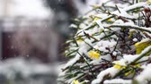 kar taneciği : Blossoms of a shrub in the snow Stok Video