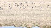 bean goose : spring and migratory geese Stock Footage