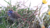 male animal : blue-throated robin Stock Footage