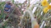 roodborstje : Maleise robin op een gras in de lente, close-up Stockvideo