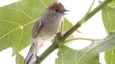 blackcap : bird on a maple (Black-cap)