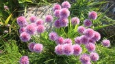 piekne : sea bright large blossoming clover