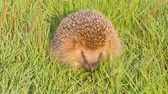 whiskers : wild animal  hedgehog on  grass close up