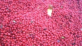 cowberry : Cranberries are healthy and tasty Northern berry Stock Footage